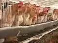 散养土鸡养殖技术,养鸡场建设