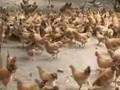 果园养鸡新技术视频 (4342播放)
