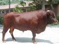肉牛育肥怎样选择好的架子牛 (297播放)