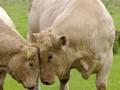 牛饲料加工,粗饲料加工现场 (399播放)