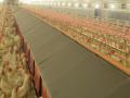 种鸡少喂蛋白可以增加产蛋量